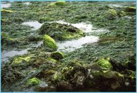 Tidepool Seaweed, NOAA, Olympic Coast National Marine Sanctuary