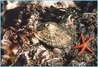 Limpet and Seastar in Tidepool, NOAA, Olympic Coast National Marine Sanctuary
