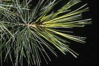 White Pine Tassel(Pinus strobus L.) adopted as state flower in 1895.