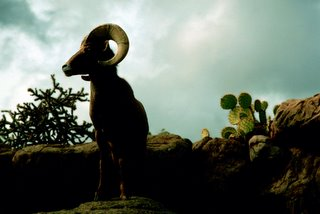Title: Desert Bighorn Sheep   Alternative Title: (Ovis canadensis mexicana)   Creator: Stolz, Gary M.   Source: WO8042-010  Publisher: U.S. Fish and Wildlife Service, Contributor: DIVISION OF PUBLIC AFFAIRS
