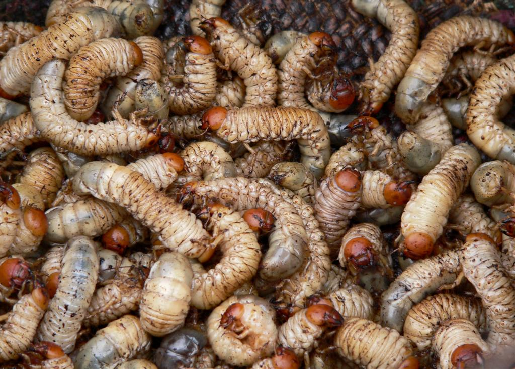 maggots in people - photo #41