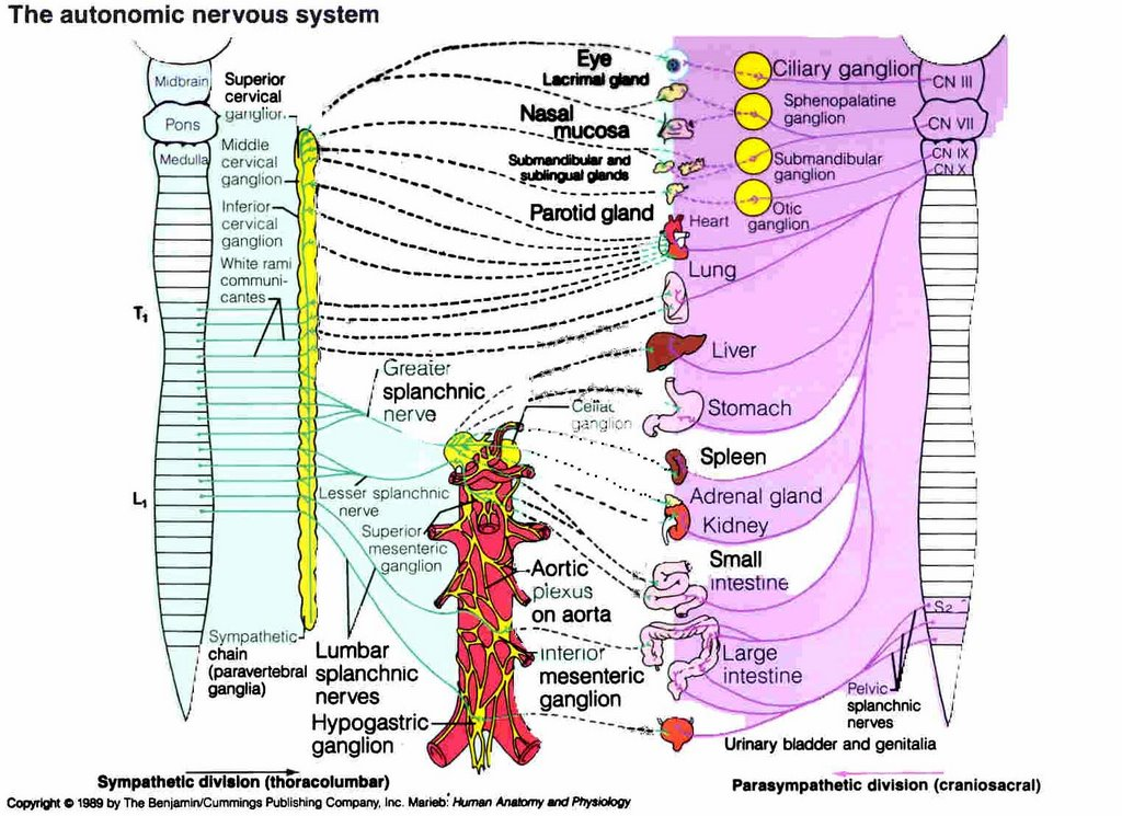 Courtney's Second Wind: Peripheral Nervous System and the ...