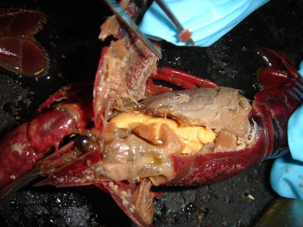 bio107: 10-26 crayfish dissection- Phylum Arthropoda ...