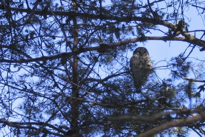 owl in the treetops