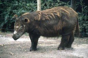 Darren Naish Tetrapod Zoology Are Sumatran Rhinos Really