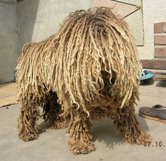 Dog which looks like a mop