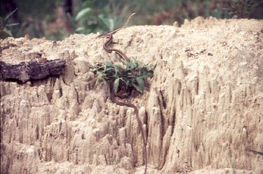 A bronzebacked tree snake during the Mudumalai wildlife census in 1998 organised by Tamil Nadu Forest Department with Nilgiri Wildlife & Environment Association (NWEA)