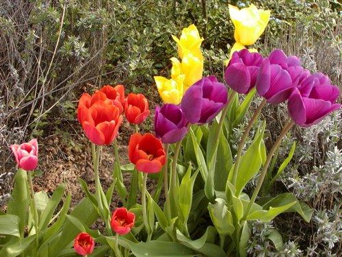 gorden planten gartentagebuch die tulpen bl hen toll. Black Bedroom Furniture Sets. Home Design Ideas