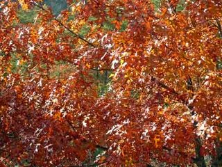 autumn foliage red oak