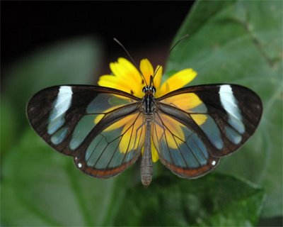 mariposa transparente1