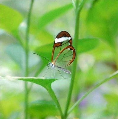 mariposa transparente2