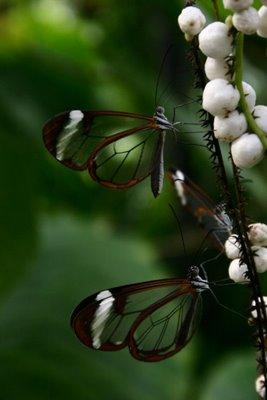 mariposa transparente3