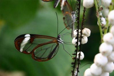 mariposa transparente4