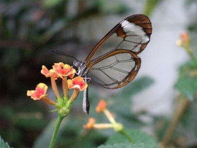 mariposa transparente5