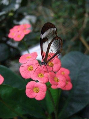 mariposa transparente6