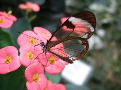 mariposa transparente7
