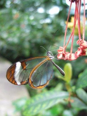mariposa transparente9