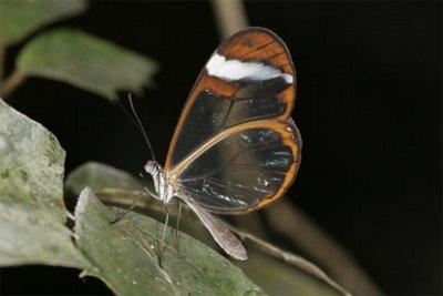 mariposa transparente10