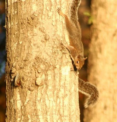 long-tailed squirrel