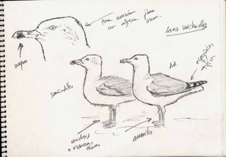 Yellow-legged Gull, Subadult