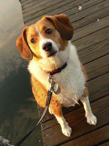 The Dognabbit Dog Blog: Beltie: Beagle/Sheltie Mix