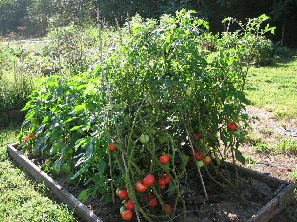 Garden Journal 7 31 06 Growing Arkansas Traveler Heirloom Tomatoes How To Save Your Own Tomato Seeds