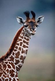 Aninimal Book: PALAEOBLOG: Giraffe Necks & Big-Hearted Sauropods