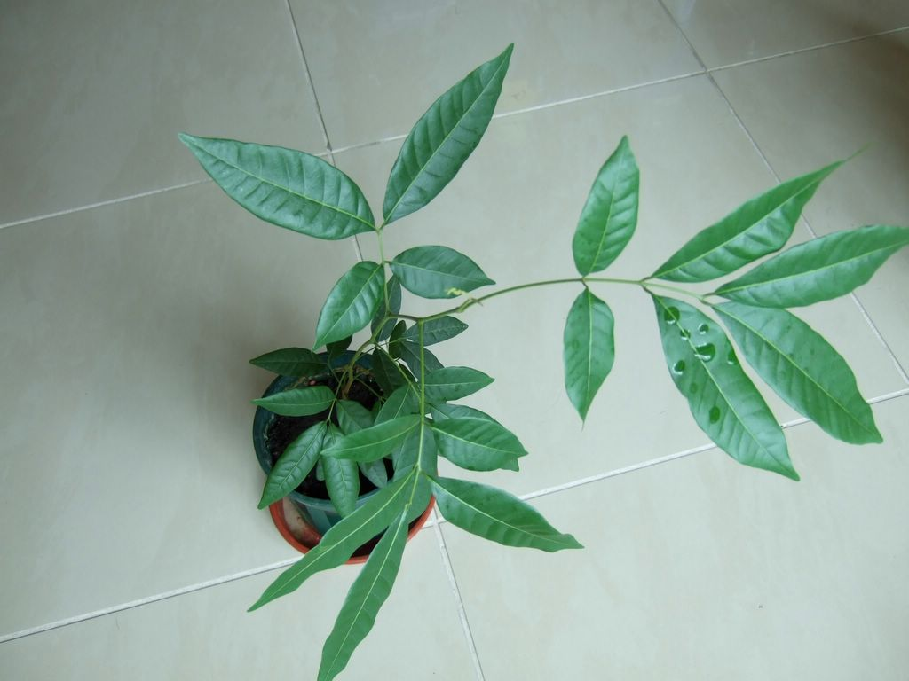 All Plant Club Little Longan