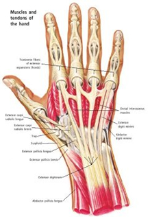 hand diagram ligaments impossible is only a word hand bones diagram #13