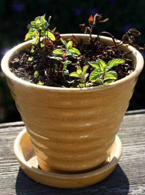 photograph picture of our mint plant which is quickly recovering from a near death experience