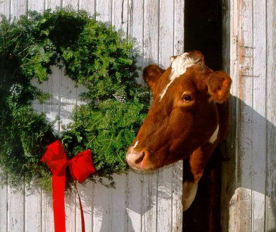 Merry Christmas Cow