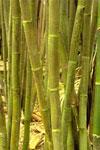 rumpunbambu