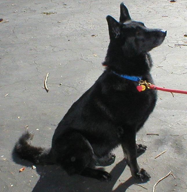 Sam The Beautiful All Black German Shepherd Dog