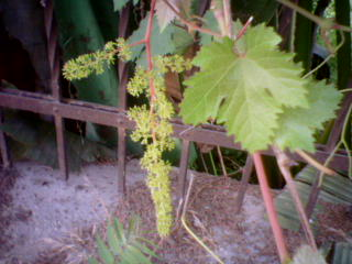 Grapes just starting