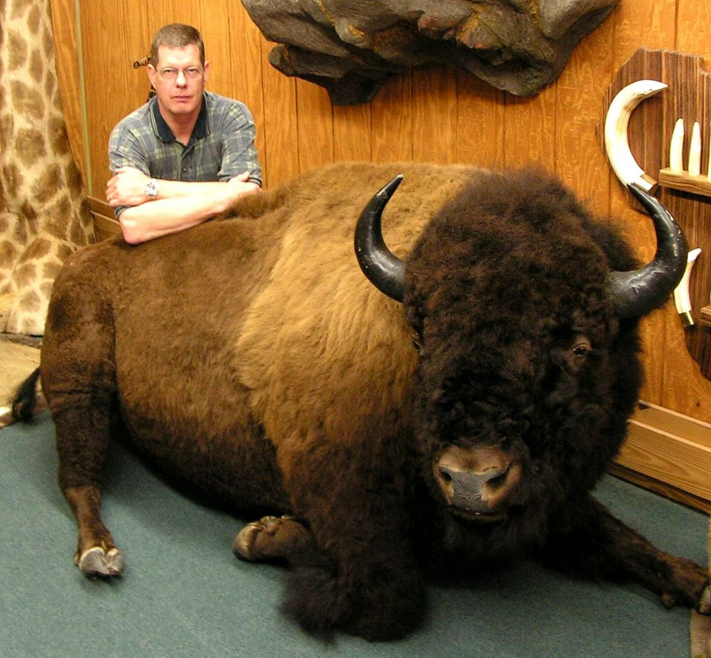 Bison size compared to human