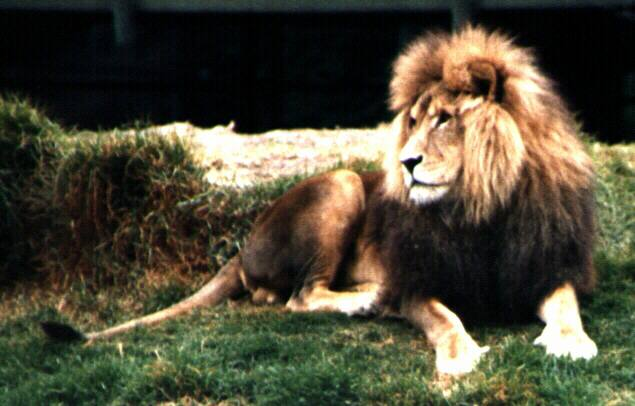 Fighting lion midget