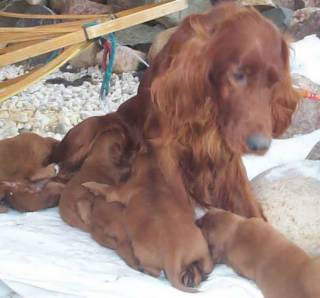 Dam and her Irish Setter puppy litter.