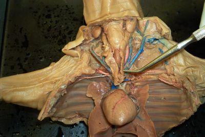 Fetal Pig Thymus Gland