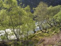 Silver Birches beside Gruinard River