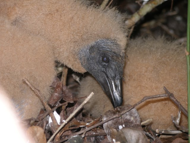 Love The Swamps: Baby Black Vulture