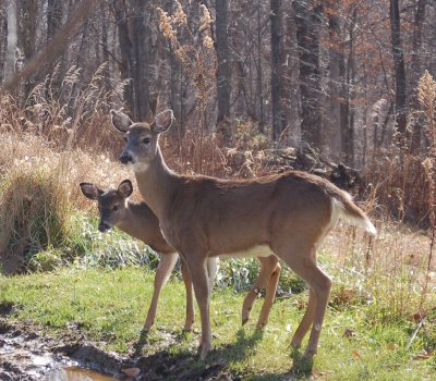 White tailed deer, doe and fawn