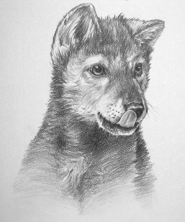 How To Draw A Realistic Wolf Pup Step By Step - Drawing ...