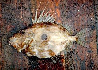 Kosher Fish Destination: Species Focus: John Dory