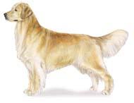 golden Os dez cachorros mais inteligentes e os mais burros