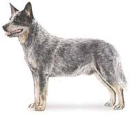 australian Os dez cachorros mais inteligentes e os mais burros