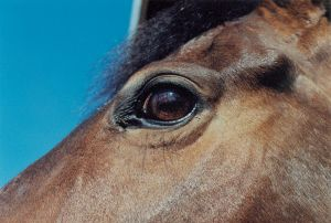 The anatomy of this horse's eye offers clues to the biology of visual memory.