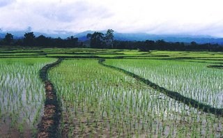 Nan rice field