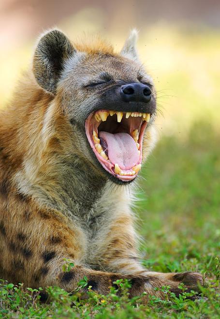 картинки смеющийся гиены такое