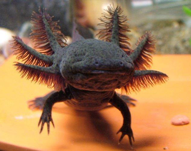 Dragon~ Axolotl with attitude