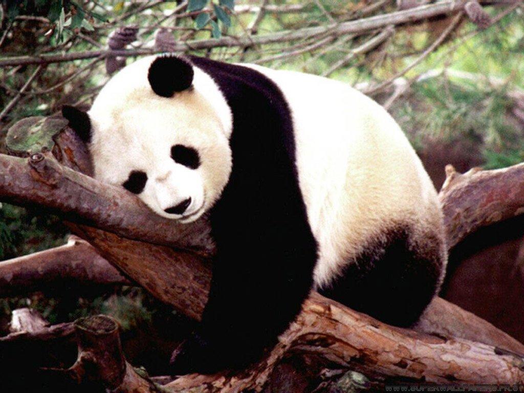 Animal Insemination Porn porn sparks panda baby boom in china | animal photo